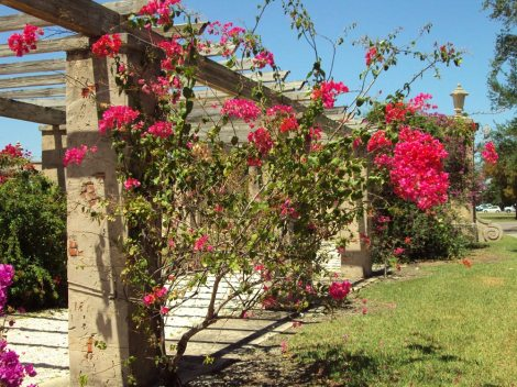 Coral Gables Prado Entrance Bougainvillea